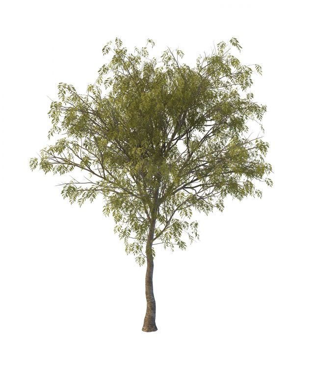 Rowan Tree 3d Model 3ds Max Files Free Download Modeling