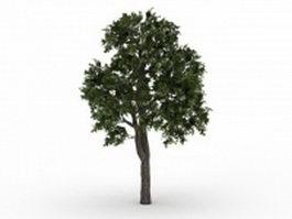 Norway maple tree 3d model