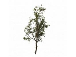 Cottonwood tree 3d model