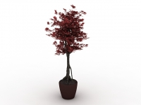 Potted Japanese maple tree 3d model