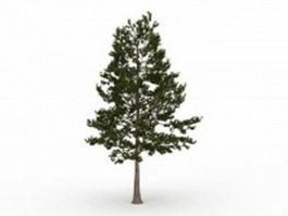 Loblolly pine evergreen tree 3d model