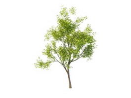 America Maple tree 3d model