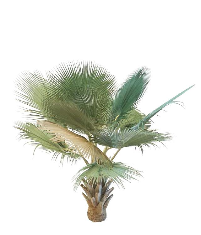 Bismarckia Nobilis Palm 3d model