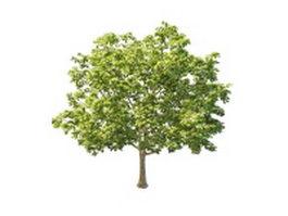 North America sugar maple tree 3d model