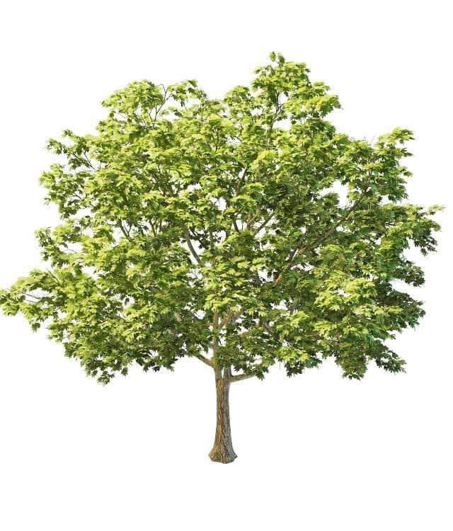 North America Sugar Maple Tree 3d Model 3ds Max Files Free