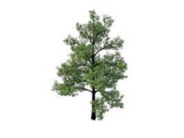 Swamp chestnut oak tree 3d model