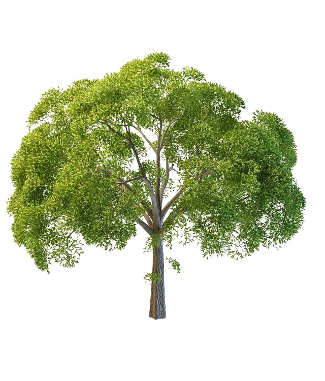 Willow Oak Tree 3d Model 3ds Max Files Free Download