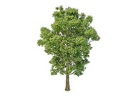 Paper mulberry tree 3d model