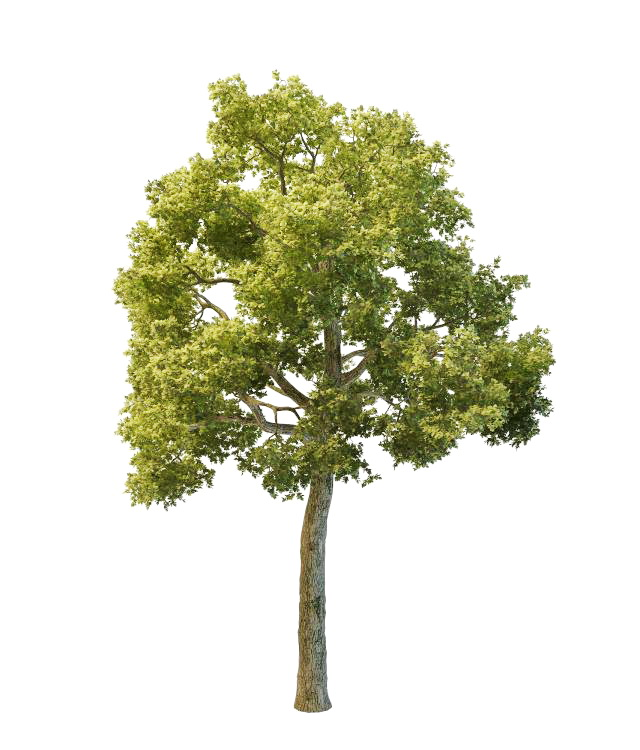 North American Oak Tree 3d Model 3ds Max Files Free