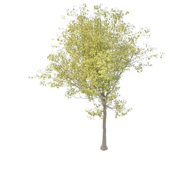 Black cherry tree 3d model