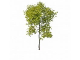 Evergreen patio tree 3d model