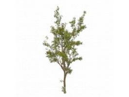 Silver leaf poplar tree 3d model