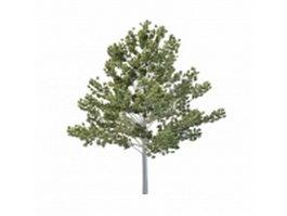Tall aspen tree 3d model