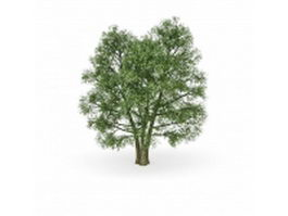 European beech ornamental tree 3d model