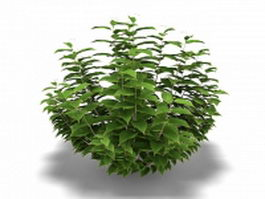 Cornus controversa tree 3d model