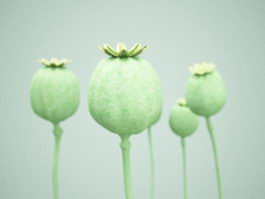 Opium poppy seed head 3d preview