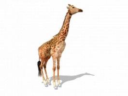 Masai giraffe 3d model