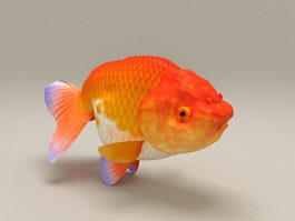 Red Ranchu Goldfish 3d model