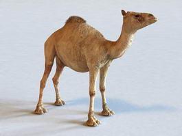 Dromedary Camel 3d model