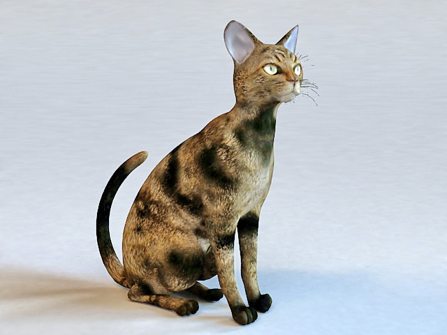 Maine Coon Cat 3d model