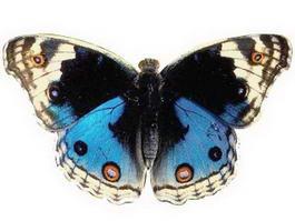 Blue Butterfly 3d model