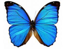 Blue Morpho Butterfly 3d model