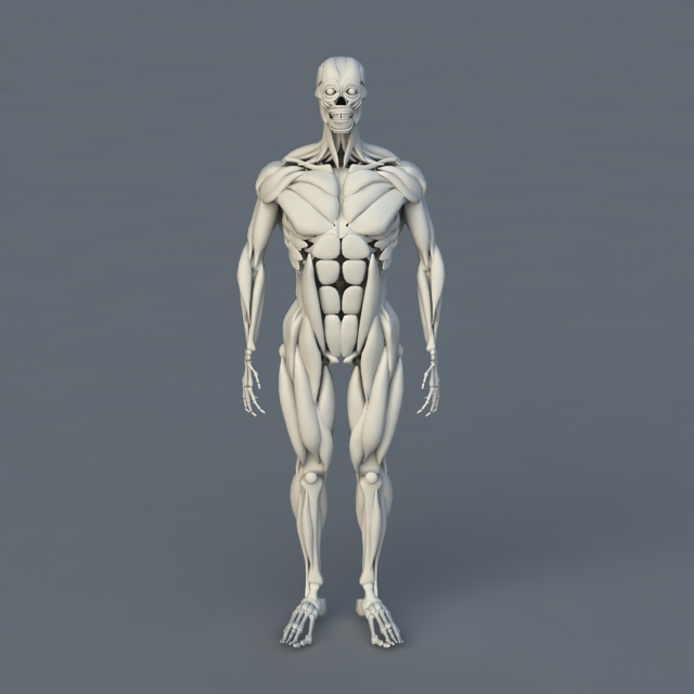 Human Body Bones and Muscles 3d model 3ds Max files free ...