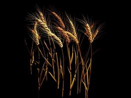 Wheat Stalk 3d model