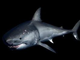 Great White Shark Rig 3d model