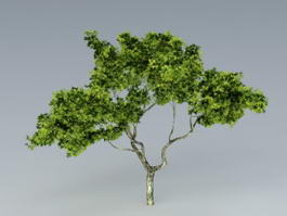 Sycamore Tree 3d model