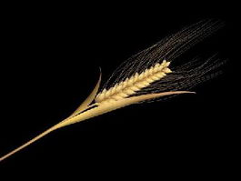 Wheat Spikelet Stem 3d model