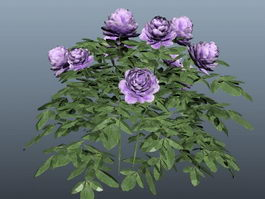 Purple Chinese Rose 3d model
