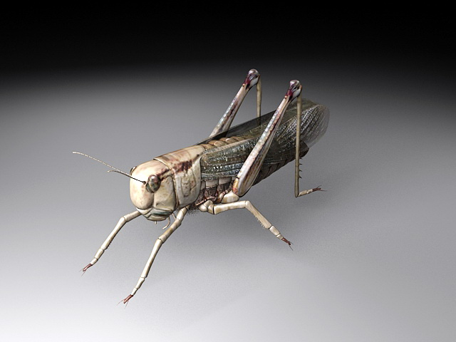 Locust Insect 3d model rendered image