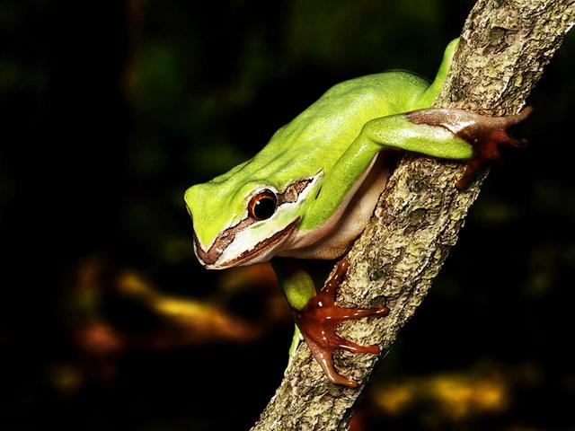 Green Tree Frog 3d model rendered image