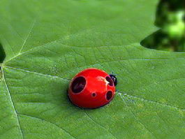 Ladybugs Beetle 3d model
