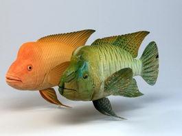 Humphead Wrasse Fish 3d model