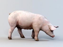 Sow Pig 3d model