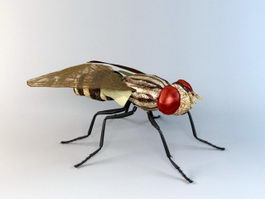 Anthomyiid Fly 3d model