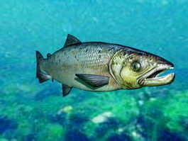 Salmon Fish Rig 3d model