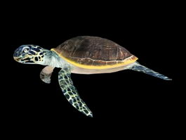 Animated Green Sea Turtle 3d model