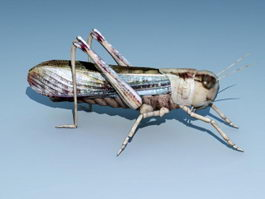 Brown Locust 3d model