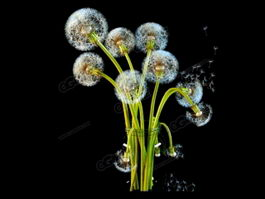 Dandelion Seed Heads 3d model