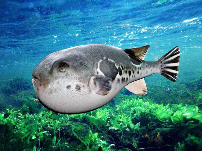 Spotted Puffer Fish 3d rendering