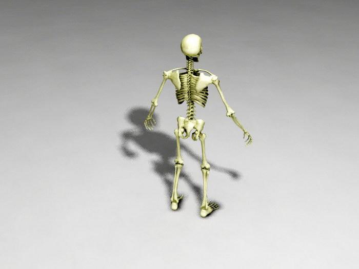 Full Human Skeleton 3d rendering