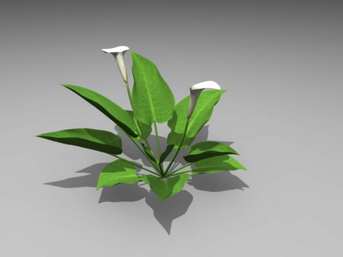 White Calla Lily Plant 3d rendering