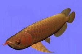 Asia Arowana fish 3d model preview