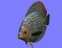 Turquoise Discus fish 3d model preview