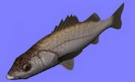 Suzukisea perch/sea bass fish 3d model preview