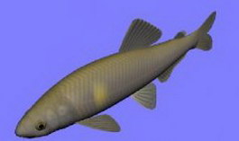 Sweetfish 3d model preview