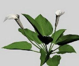 Calla lily 3d preview